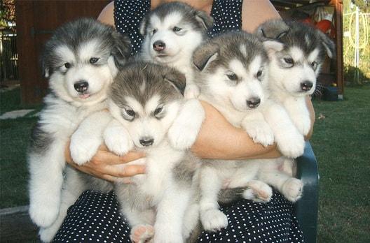 bán chó alaska
