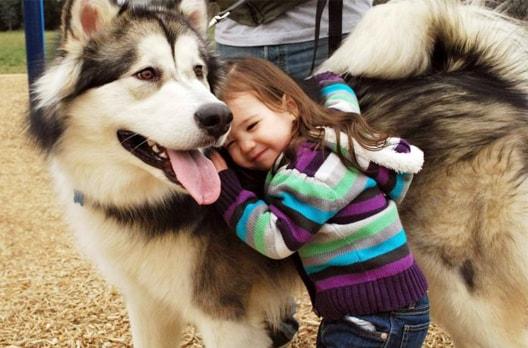 chó alaska khổng lồ