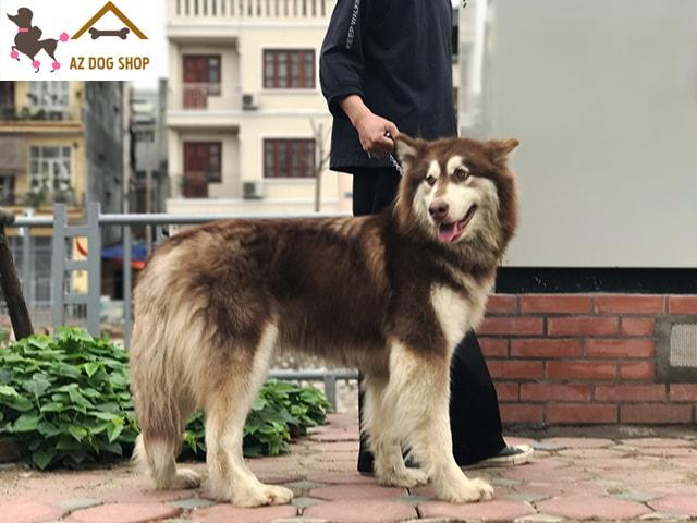 Chó Alaska nâu đỏ trưởng thành