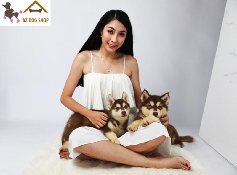 Chó Alaska Standard nâu đỏ