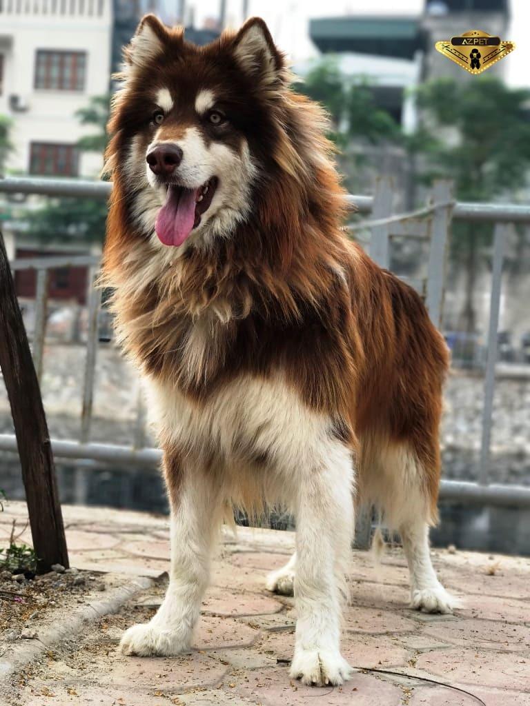 Chó alaska giant màu nâu đỏ