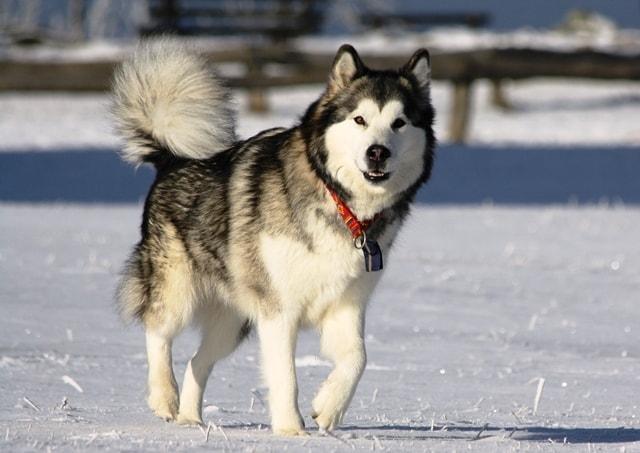 giống chó alaska malamute
