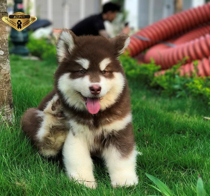 Chó Alaska Nâu Đỏ